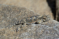 437800020 a wild southern desert horned lizard phrynosoma platyrhinos calidiarum sitting on a rock along tungsten road bishop inyo county california