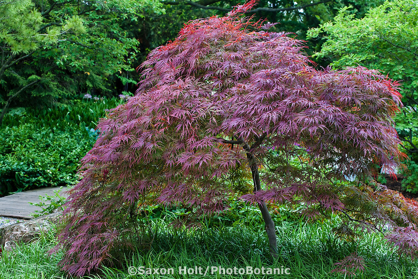 Small red leaf tree focal point, Garnet Japanese Maple (Acer palmatum v. dissectum 'Garnet) in garden