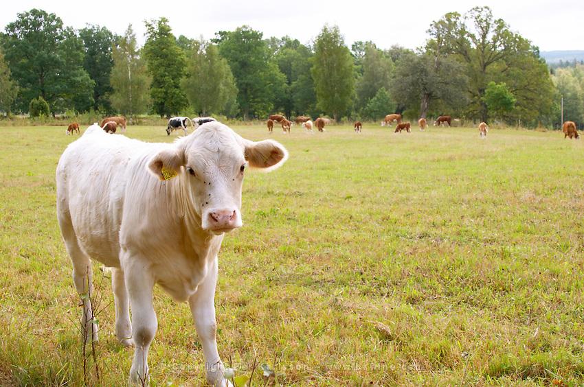 Bull Calf White Smaland region. Sweden, Europe.
