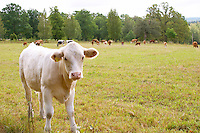 Bull Calf White Smaland region. Sweden, Europe.