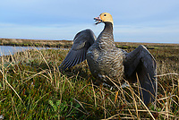 Emperor Goose (Chen canagica) in defensive posture at the nest. Yukon Delta, Alaska. June.