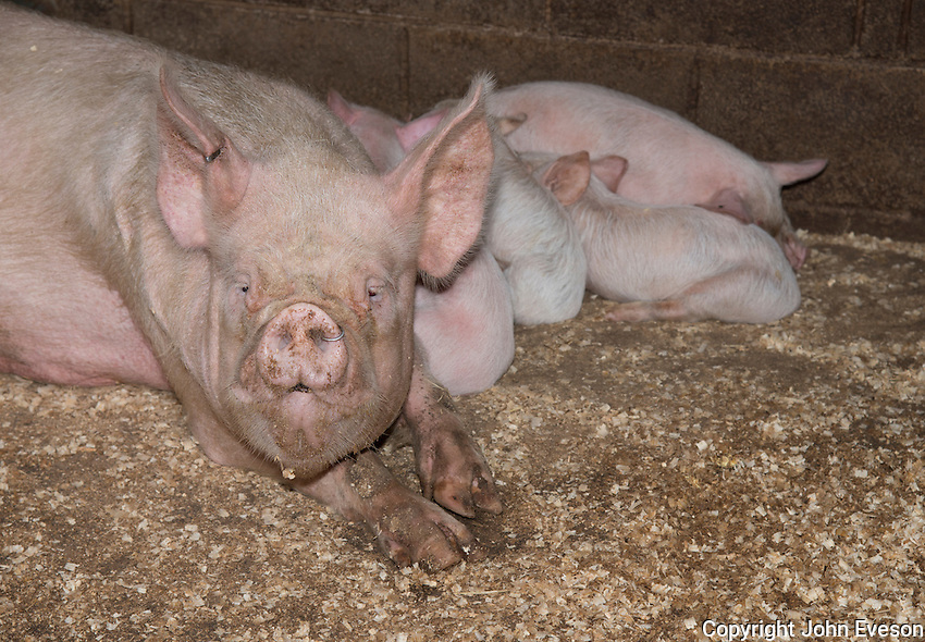 Middle White sow with ring in nose and piglets,  Burnley, Lancashire.