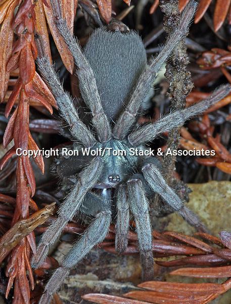 California Funnel-web Spider (Calisoga longitarsis, prev. Brachythele longitarsis). Big Basin Redwoods State Park. Santa Cruz Co., Calif.