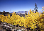 Aspens in October in Great Basin National Park