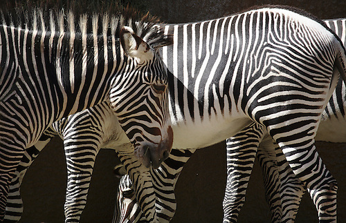 Zebras show off their stripes at the Los Angeles Zoo