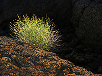 A lone bush is highlighted in the Craters of the Moon state park of Idaho.