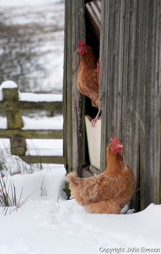 Free range poultry in the snow,  Whitewell, Clitheroe, Lancashire.