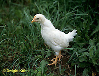 DG13-030z  Chicken - molting to adult - feathers - White Leghorn