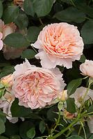 Rosa The Wren floribunda rose, pink salmon orange aka Kormamtiza, double full apricot blend
