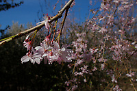 NEWARK, NJ - APRIL 14: Flores as seen during the 41st annual Cherry Blossom Festival in branch brook park on April 14, 2017 in Newark, New Jersey. Photo by VIEWpress/Kena Betancur