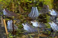 Moorfrosch, Moor-Frosch, Frosch, zur Paarungszeit, Laichzeit, Männchen intensiv blau gefärbt, Hochzeitskleid, Rana arvalis, Moor Frog