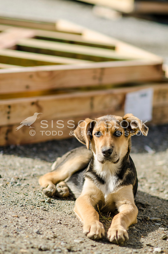 Young puppy at a building site with wooden framing behind, Queenstown, New Zealand - stock photo, canvas, fine art print