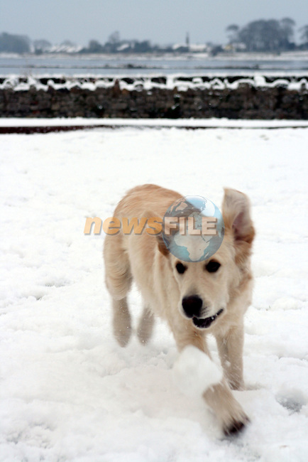 Fetching snow balls on the morning of the 4th January 07...Photo NEWSFILE/Jenny Matthews.(Photo credit should read Jenny Matthews/NEWSFILE)....This Picture has been sent you under the condtions enclosed by:.Newsfile Ltd..The Studio,.Millmount Abbey,.Drogheda,.Co Meath..Ireland..Tel: +353(0)41-9871240.Fax: +353(0)41-9871260.GSM: +353(0)86-2500958.email: pictures@newsfile.ie.www.newsfile.ie.FTP: 193.120.102.198.