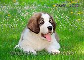 Marek, ANIMALS, REALISTISCHE TIERE, ANIMALES REALISTICOS, dogs, photos+++++,PLMP3131,#a#, EVERYDAY