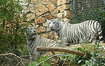 From Russia with love: The two white tigers that were given as a gift from the Moscow Zoo in Russia to Haifa's Educational Zoo are seen in their new home in Israel's northern city of Haifa, Thursday, April 16th 2009. The tigers, a brother and sister pair, arrived in Israel on Monday April the 13th. According to the Director of Moscow's Zoo, Dr Vladimir V. Spitsin, it is the policy of the Moscow zoo to separate cubs from their parents. Reportedly, the original gift was to consist of only one white tiger cub, until Russia's Prime Minister, Vladimir Putin, intervened on Israel's behalf, and arranged for Israel to be presented with two such tigers. Photo By: Moran Mayan / JINI