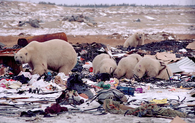 Polar Bears marked with numbers scavenge on the rubbish dump outside Churchill. Manitoba. Canada.