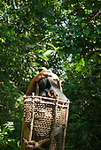 Aldeia Baú, Para State, Brazil. Kayapo woman carrying a basket of babassu nuts on a strap round her head walking in the forest.