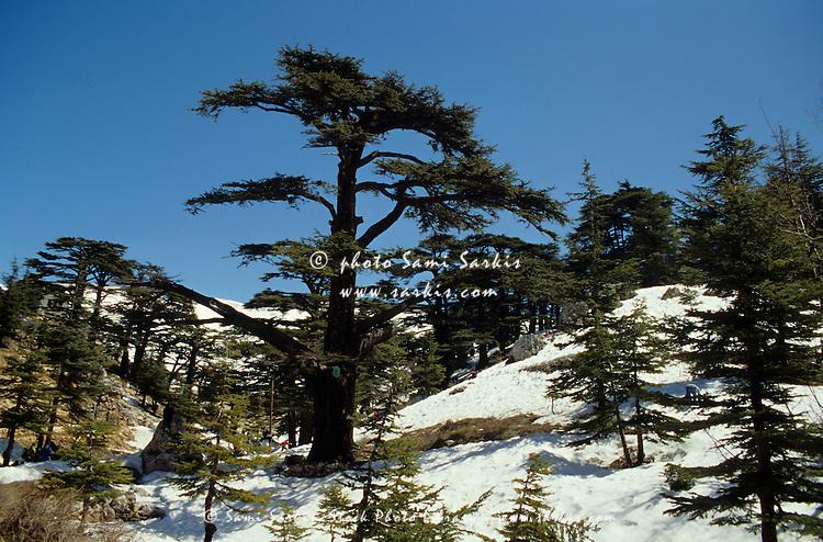 Snow on the Lebanese Cedar trees covering the hillside during spring, Bsharri, Lebanon.