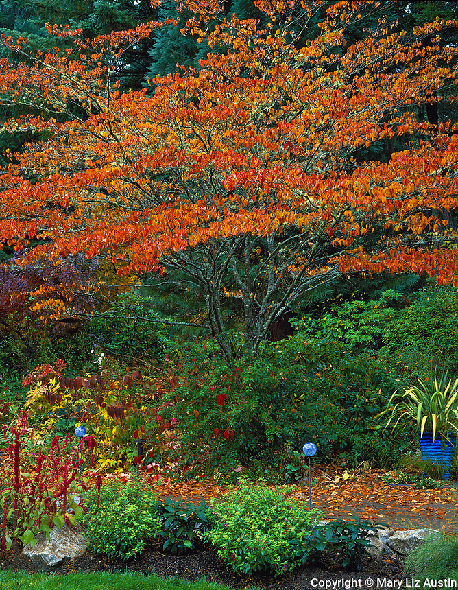 Vashon Island, WA<br /> A dogwood tree with elegant branching structure and fall foliage shelters a perennial bed and walkway