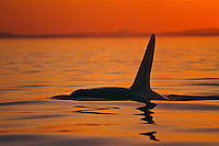 Orca Whale or killer whale (Orcinus orca) on the surface at sunset.