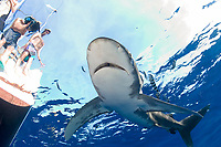 oceanic whitetip shark, Carcharhinus longimanus, Mozambique, Africa, Mozambique Channel, Indian Ocean