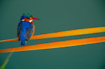A Malachite Kingfisher warms itself in the first rays of the rising sun in the Okavango delta.