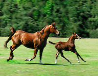 #267.Arabian Horse mare and foal canter across open paddock..© Mark J. Barrett 200.#267.Arabian Horse mare and foal canter across open paddock..¬© Mark J. Barrett 200