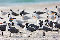 Laughing Gulls, Larus atricilla, and seagulls on shoreline at Anna Maria Island, Florida, USA