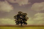 A single tree with clouds