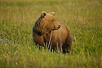 A grizzly bear pauses from sedging as something catches its interest in Lake Clark National Park, Alaska.