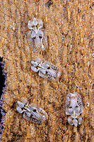 Platanen-Netzwanze, Platanennetzwanze, Platanen-Gitterwanze, Platanengitterwanze, Corythucha ciliata, sycamore lace bug, Netzwanzen, Gitterwanzen, Tingidae, lace bugs