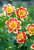 Dahlia 'Pooh' (Swansland) in red and yellow bicolor blooms
