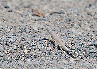 Zebra-tailed lizard, Callisaurus draconoides, in Saline Valley, Death Valley National Park, California