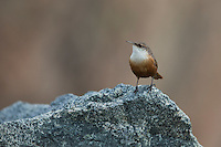 Canyon Wren (Catherpes mexicanus conspersus) on Morro Rock in Morro Bay, California.