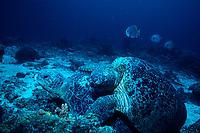 green sea turtles, Chelonia mydas, mating, Sipadan, Borneo, Malaysia, Pacific Ocean