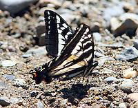 Pale swallowtail muding