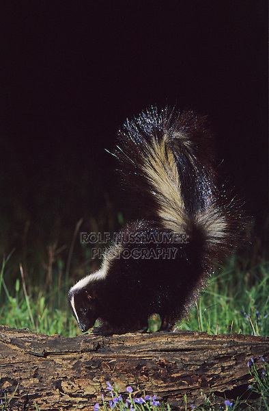 Striped Skunk, Mephitis mephitis, adult looking for food, Welder Wildlife Refuge, Sinton, Texas, USA, April 2005