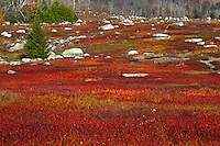 Autumn Blueberry Barrens  #L58