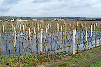 Vineyard under water in winter. Cabernet Franc. Bourgueil, Loire, France