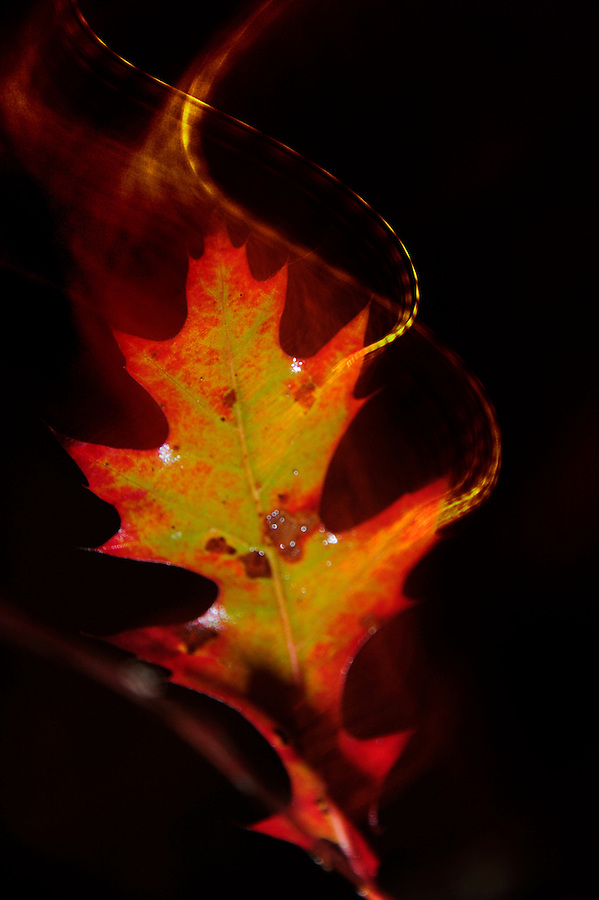 October 17, 2013  Red oak leaf at night appearing to be in motion with the camera panning, twisting and strobe added. Actually, the petite leaf is growing directly out of the bark on the side. The flickering ambient street light provided the warm color temperature and the dashed streaks caused by the pulsing light. An on camera strobe hit the wet leaf giving it more natural color and creating white spots where the leaf was moist with water. The slow exposure allowed the photographer to shoot with strobe then quickly flick his wrist to create the illusion of the leaf in motion.