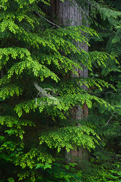 Olympic National Park, WA--near Heart of the Hills Campground.  Western Hemlock and Western Red-cedar trees.