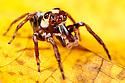 Jumping spider {Salticidae} on yellow leaf.  Masoala Peninsula National Park, north east Madagascar.