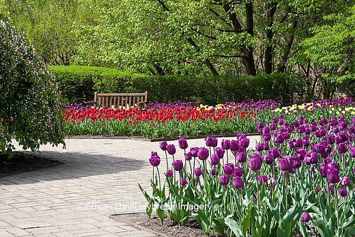 63821-21210 Bench in bed of Tulips (Tulipa  'Negrita' purple and 'Cassini' red) at Cantigny Gardens, Wheaton, IL