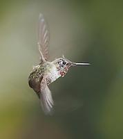 Anna's hummingbird, Calypte anna. Alameda County, California