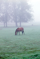 Horse in pasture with fog. Near Junction City, Oregon.