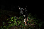 Domestic Dog (Canis familiaris) near house at night, Diyasaru Park, Colombo, Sri Lanka