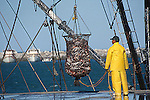 Commercial fisherman hauls large catch