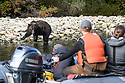 Adult female (sow) grizzly or brown bear (Ursus arctos horribilis) watched by tourists. Mussel Inlet, Great Bear Rainforest, British Columbia, Canada. September 2018