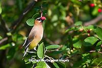 01415-03008 Cedar Waxwing (Bombycilla cedrorum) eating berry in Serviceberry Bush (Amelanchier canadensis), Marion Co., IL