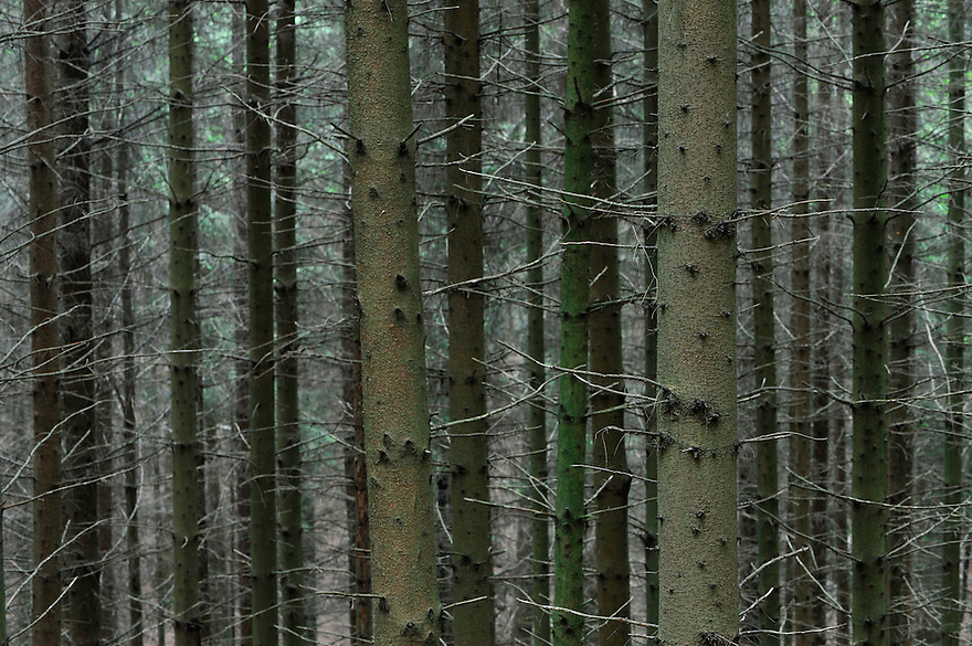 (Picea abies) Norway Spruce Forest, Mullerthal trail, Mullerthal, Luxembourg
